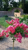 11-roza